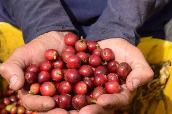 Café crece 21,4% en primer trimestre y jalona PIB agropecuario de 3,3%